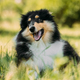 Tricolor Rough Collie Puppy, Funny Scottish Collie, Long-Haired - PhotoDune Item for Sale