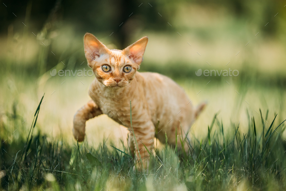 Funny Young Red Ginger Devon Rex Kitten In Green Grass. Short-ha - Stock Photo - Images