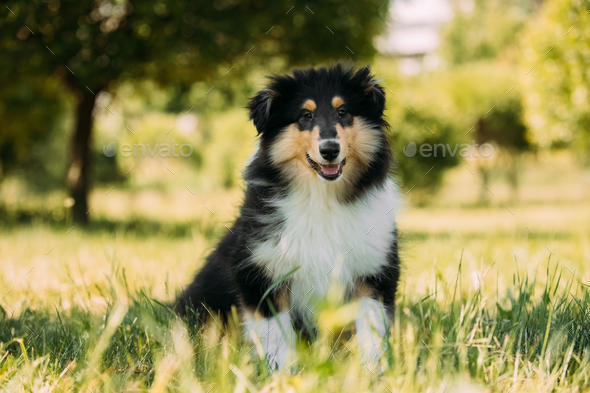 Tricolor Rough Collie Puppy, Funny Scottish Collie, Long-Haired - Stock Photo - Images