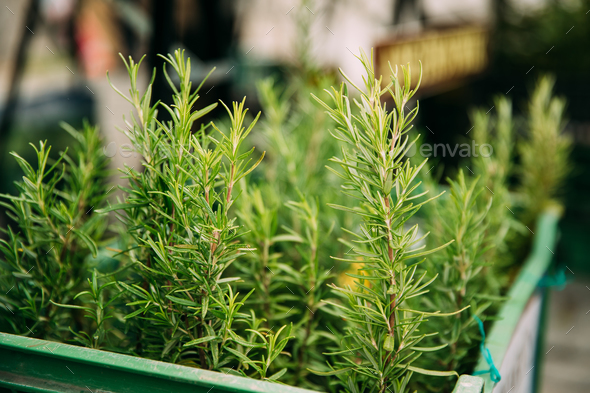 Leaves Of Green Rosemary. Perennial Herb With Fragrant, Evergree - Stock Photo - Images