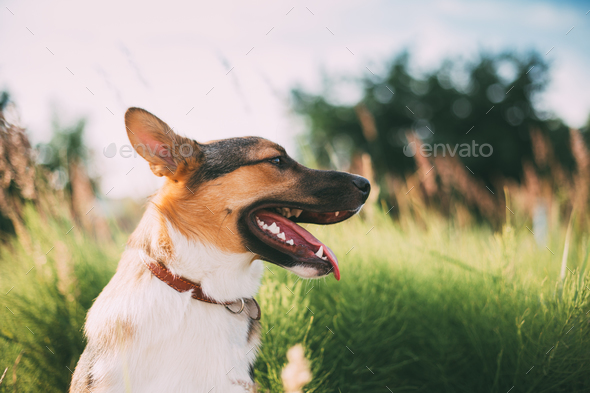 Close Up Portrait Of Funny Mixed Breed Dog Playing In Green Gras - Stock Photo - Images