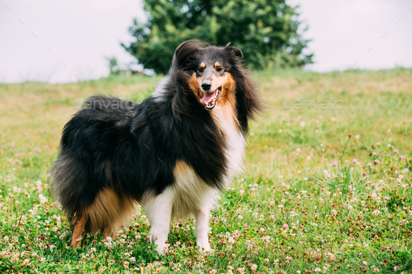 Rough Collie, Scottish Collie, Long-Haired Collie, English Colli - Stock Photo - Images