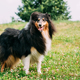 Rough Collie, Scottish Collie, Long-Haired Collie, English Colli - PhotoDune Item for Sale