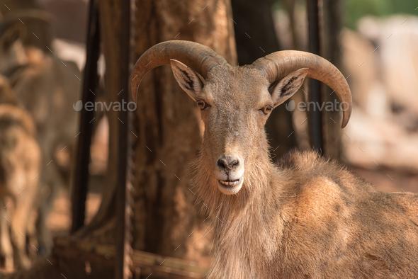 Male Barbary sheep, Ammotragus lervia - Stock Photo - Images