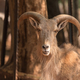 Male Barbary sheep, Ammotragus lervia - PhotoDune Item for Sale