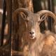 Male Barbary sheep, Ammotragus lervia - PhotoDune Item for Sale