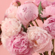 Peony Timelapse - VideoHive Item for Sale