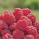 Raspberry  on Nature Background - VideoHive Item for Sale