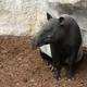 Malayan Tapir in a Natural Park - VideoHive Item for Sale