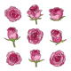 Collection of Pink Roses - GraphicRiver Item for Sale