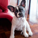 French bulldog puppy sitting at home - PhotoDune Item for Sale