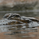 False Gharial or Tomistoma Submerging in a River - VideoHive Item for Sale