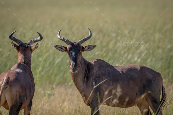 Two Red hartebeests standing in the grass. - Stock Photo - Images