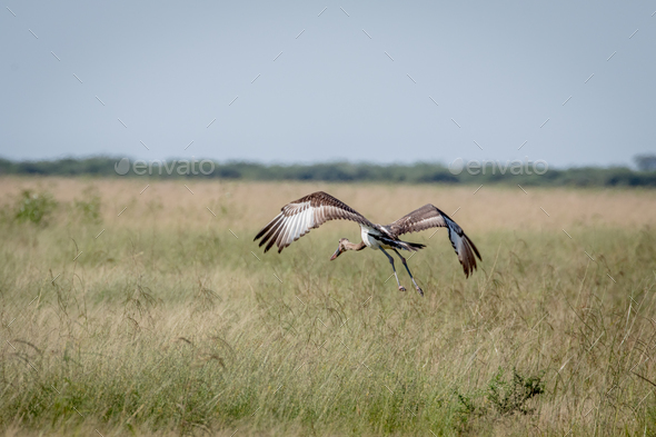 Juvenile Saddle-billed stork flying away. - Stock Photo - Images