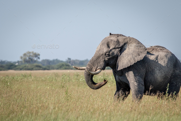 Big Elephant bull showing some attitude. - Stock Photo - Images