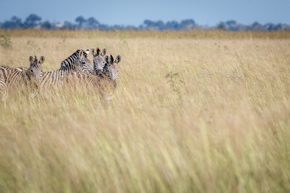 Group of Zebras standing in the high grass. - Stock Photo - Images