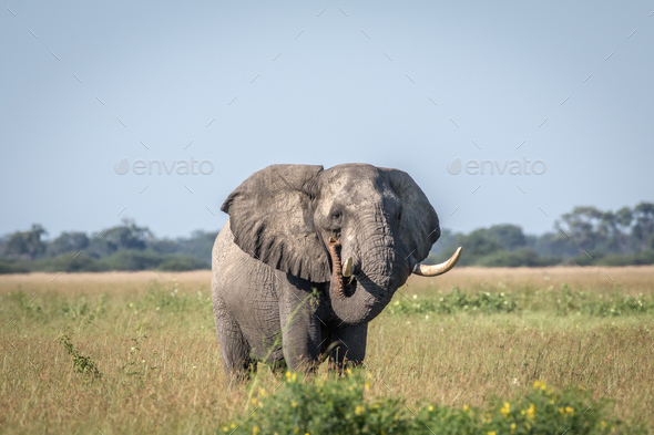 Elephant bull standing in the high grass. - Stock Photo - Images