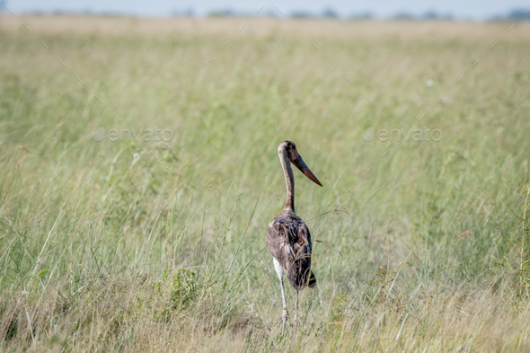 Juvenile Saddle-billed stork standing in grass. - Stock Photo - Images