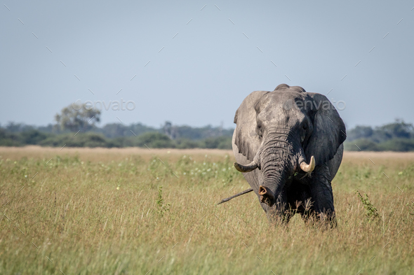 Big Elephant bull stretching his trunk. - Stock Photo - Images