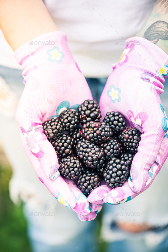 Young gardener woman holding blackberries in hands in garden - Stock Photo - Images