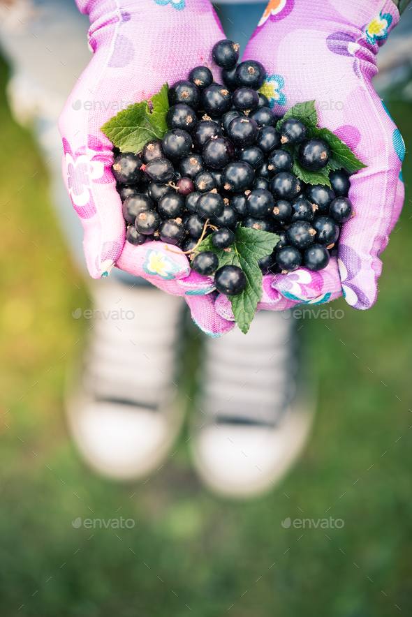 Woman hands holding fresh blackcurrant fruits in garden - Stock Photo - Images