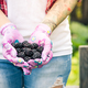 Young gardener woman holding blackberries in hands in garden - PhotoDune Item for Sale