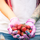Woman gardener holding strawberries in hands - PhotoDune Item for Sale