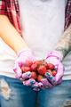 Woman gardener holding strawberries in hands - PhotoDune Item for Sale