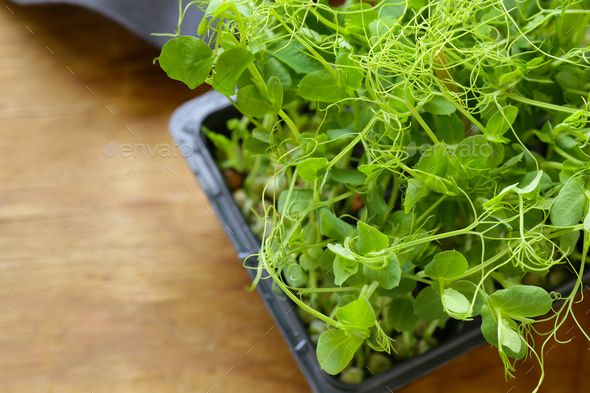 Sprouts of Peas - Stock Photo - Images