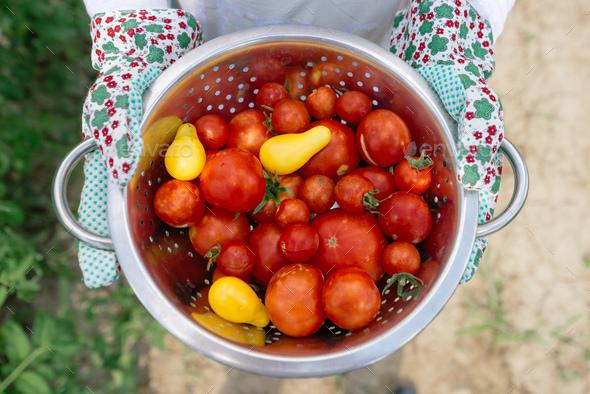 Organic tomato harvest - Stock Photo - Images