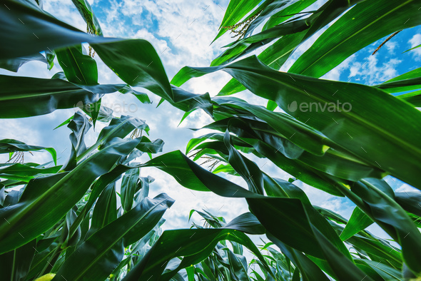 Corn maize crop low angle - Stock Photo - Images