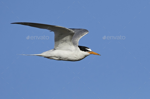 Little tern (Sternula albifrons) - Stock Photo - Images