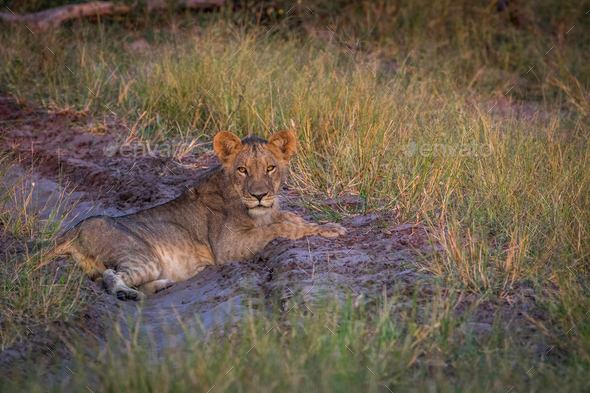 Lion laying on the road and starring. - Stock Photo - Images