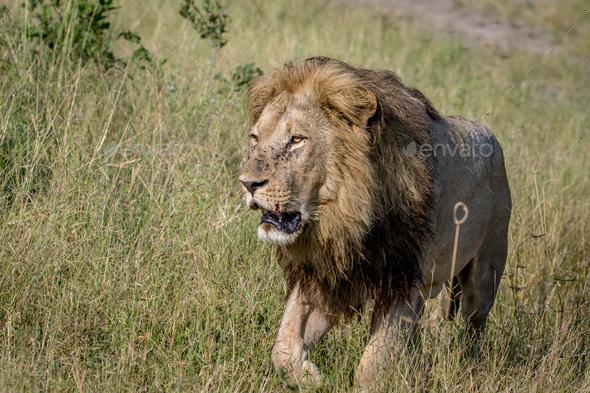 Big male Lion walking towards the camera. - Stock Photo - Images