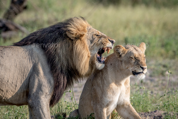Lion mating couple standing in the grass. - Stock Photo - Images