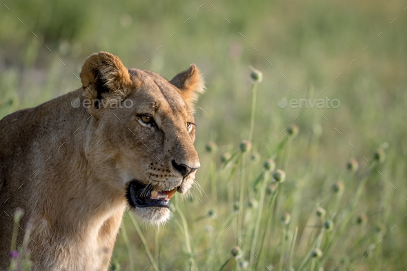 Side profile of a Lion in the grass. - Stock Photo - Images