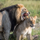 Lion mating couple standing in the grass. - PhotoDune Item for Sale