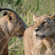 Two Lions bonding in the grass. - PhotoDune Item for Sale