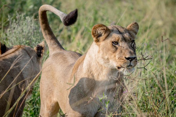 Lion standing in the high grass and starring. - Stock Photo - Images