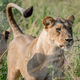 Lion standing in the high grass and starring. - PhotoDune Item for Sale