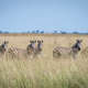 Group of Zebras standing in the high grass. - PhotoDune Item for Sale