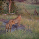 Two Lions standing on the road and starring. - PhotoDune Item for Sale