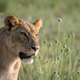 Side profile of a Lion in the grass. - PhotoDune Item for Sale