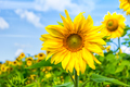 Healthy eating concept with yellow sunflowers field - PhotoDune Item for Sale