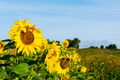 Agricultural land landscape with yellow sunflowers - PhotoDune Item for Sale