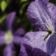 Drops of Water Splashing at Purple Flowers in the Garden - VideoHive Item for Sale