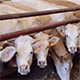 Cows eating, farm - VideoHive Item for Sale