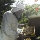 Beekeeper in Protective Veil and Hat Inspecting Honeycombs with Bees - VideoHive Item for Sale