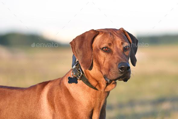 Portrait of Ridgeback - Stock Photo - Images