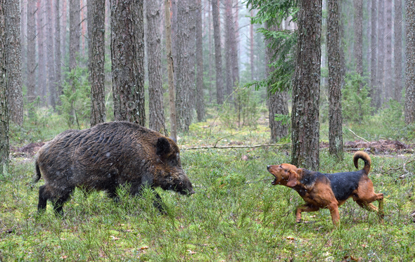 Hunting with hound on wildboar - Stock Photo - Images